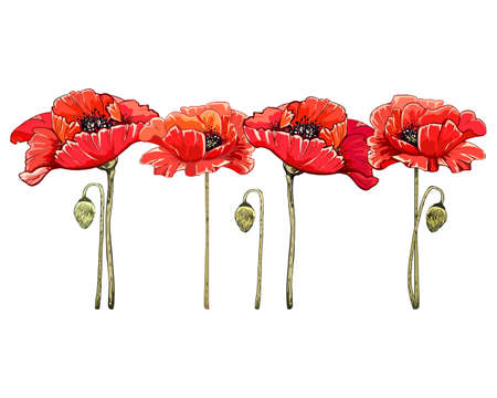 poppy blooming red flower and green bud on white background, vector detailed object, natural botanical plant