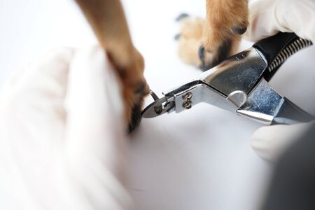 The paw of a dog in the hands of a veterinarian for safe professional trimming of the animals claws by a doctor.Close-up.