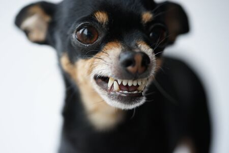 Close-up angry little black dog of toy terrier breed on a white background.Macro photo,selective focus. Archivio Fotografico