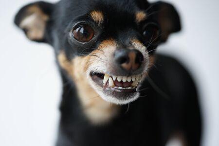Nahaufnahme wütender kleiner schwarzer Hund der Toy Terrier-Rasse auf weißem Hintergrund. Makrofoto, selektiver Fokus. Standard-Bild