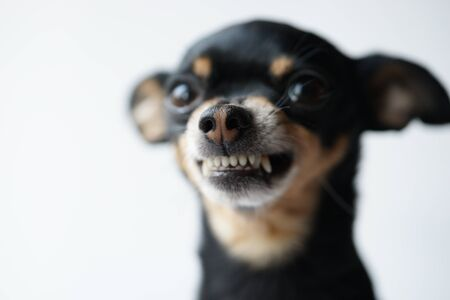 Gros plan en colère petit chien noir de race toy terrier sur fond blanc.Macro photo,mise au point sélective.