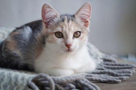 Cute tricolor kitten lies on a gray warm woolen blanket with a fringe.Concept of adorable little pets. Standard-Bild