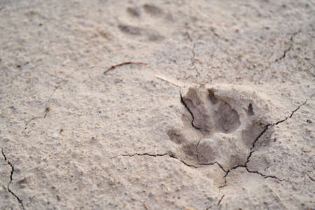 Close up of dog paw print on dry ground, sand with cracks top view, macro photo. Stock Photo