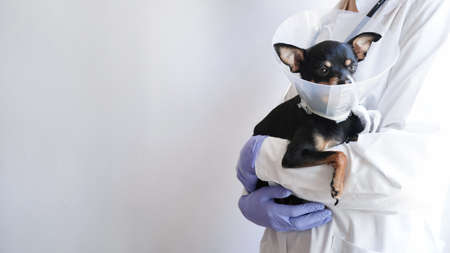 Veterinarian in white medical coat and blue gloves holds small black toy terrier dog in medical collar for animals