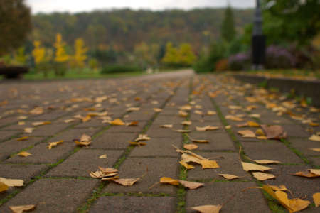 Close-up beautiful yellow birch leaves lie on the asphalt road in the autumn park, natural banner.