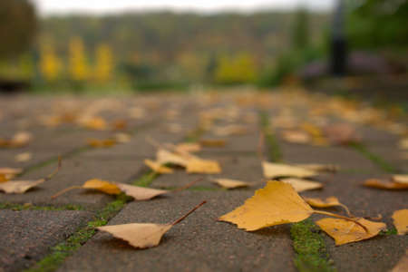 Close-up beautiful yellow birch leaves lie on the asphalt road in the autumn park, natural banner. Autumn seasonal walks in the park in October, November