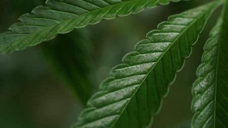 Macro photo of green leaves of cannabis, hemp on dark background.Close-up leaves of marijuana.Growing organic medicinal cannabis.Production of oil, cosmetics and textiles from hemp.Natural background