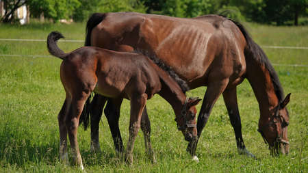 Beautiful thoroughbred brown horses mom and foal graze green meadow on bright sunny summer or spring day.Horse family.Beautiful natural banner