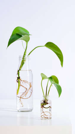 Young shoots of Golden pothos, Epipremnum aureum rooted in transparent glass bottle in water.Propagating pothos plant Devils Ivy, Ivy Arum, Ceylon Creeper from leaf cutting in water.Copy space