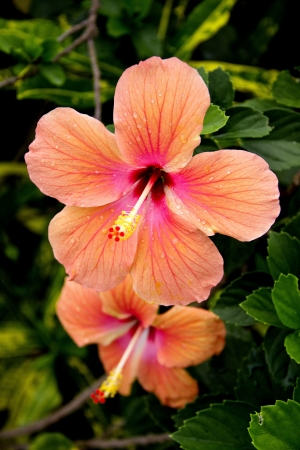 tropical flowers: Peach Hibiscus Flower