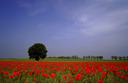 Poppy field photo