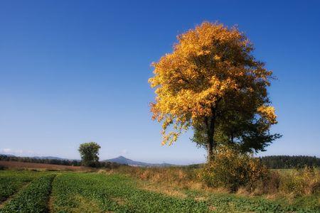 trembling: Yellow tree