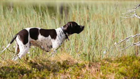 Dog english pointer watching birds  at the swamp Stock Photo