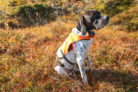 Dog english pointer sitting on the grass with GPS collar which helping to trall the dog anywhere