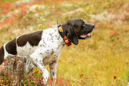 Dog english pointer hunting on the swamp, using gps tracker