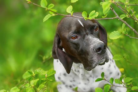 Dog english pointer sitter under the alder tree in the forest Archivio Fotografico - 119926803