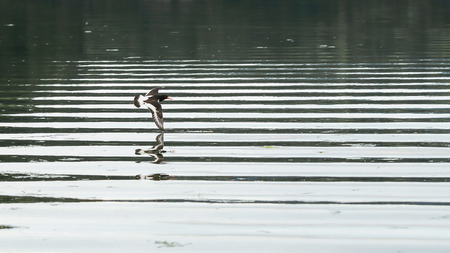 Geometry of flight  : flying sandpipers ( charadrii) double- reflected in the water in the Gaulosen nature reserve, Norway