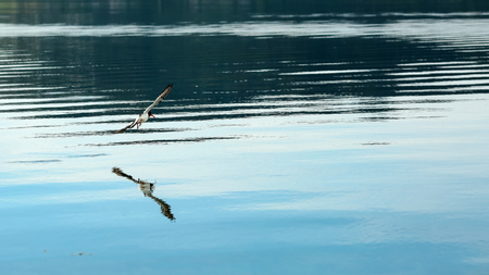 Flying sandpiper ( charadrii) reflected in the water in the Gaulosen nature reserve, Norway
