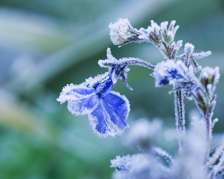 Flower blue lobelia covered with frost