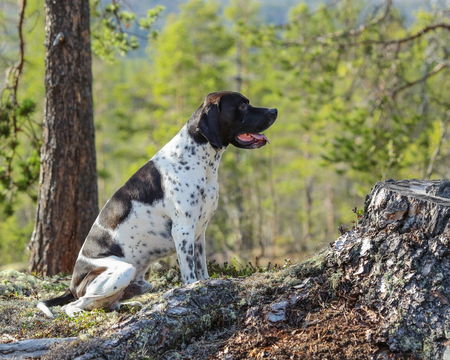 English pointer dog in the forest