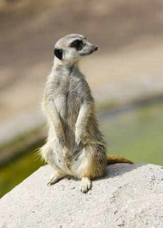 the animal Meerkat (  Suricata suricatta ) standing on the stone