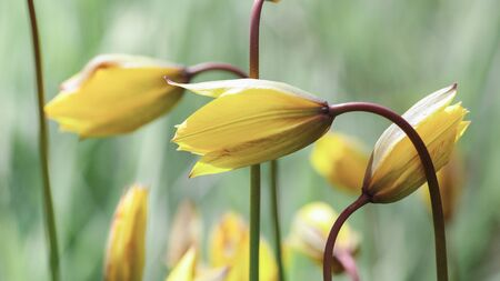 Yellow flower Lilium Bulbiferum on the green background Stock Photo