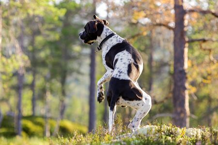 Dog english pointer dancing at sunset in a flowering heather in a pine forest