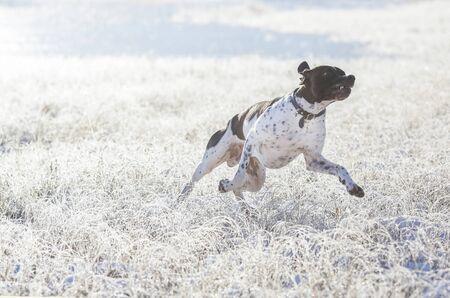 Dog english pointer running on the frozen swamp