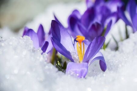 Flowers crocus covered with snow after snowfall in the spring