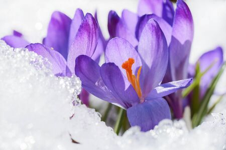 Flower crocus covered with snow after snowfall in the spring