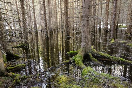 Spring flood in the wild forest in the Trondelag, Norway