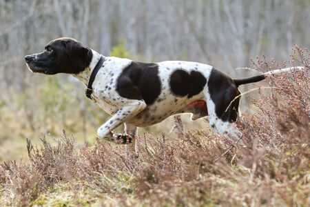 Dog english pointer standing in the grass