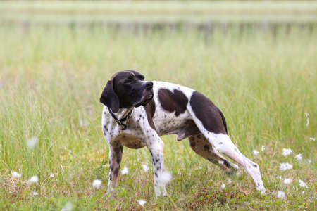 Dog english pointer standing in the swamp Stock Photo