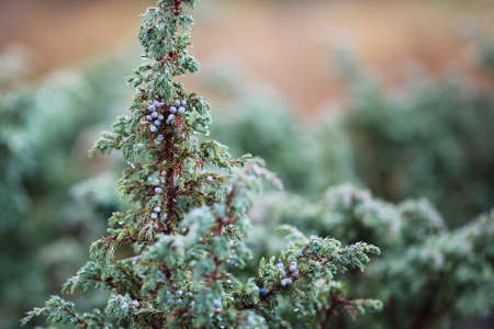 Juniper branch covered with water drops after rain in the autumn Stock Photo
