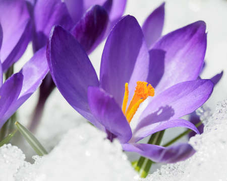 The plant blue Crocus covered with snow after snowfall in the spring