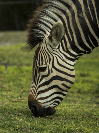 Zebras head, approaching the grass to eat Stock Photo