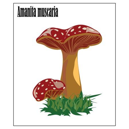 Amanita muscaria,fly agaric magic mushroom Vector
