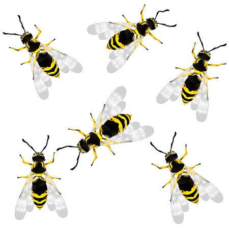 wasp: Realistic wasps, isolated objects over white background Illustration