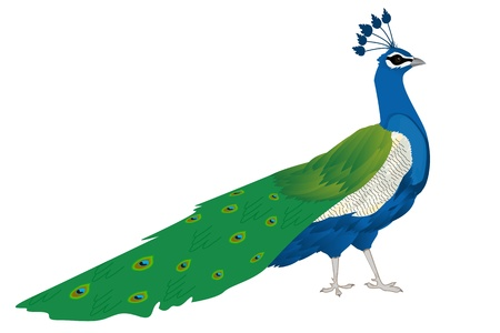 Beautiful peacock, isolated and grouped objects Stock Vector - 9861077