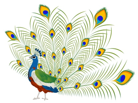 plume: Illustration of a beautiful peacock over white