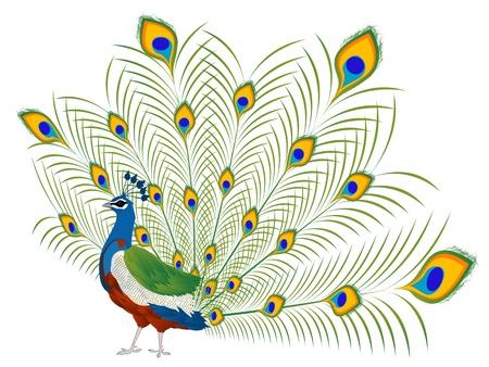 pluma de pavo real: Ilustraci�n de un hermoso pavo real sobre blanco Vectores