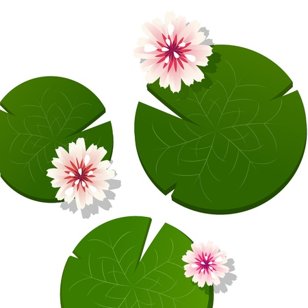 garden pond: Pink lotus flower background with shadow over a white background