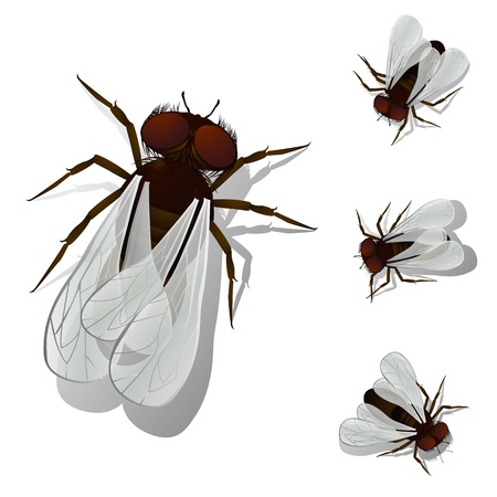 musca domestica: House fly collection, isolated and grouped objects over white  Transparency effect used