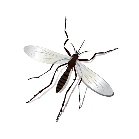 Realistic mosquito and shadow illustration, isolated and grouped objects over white  Vector