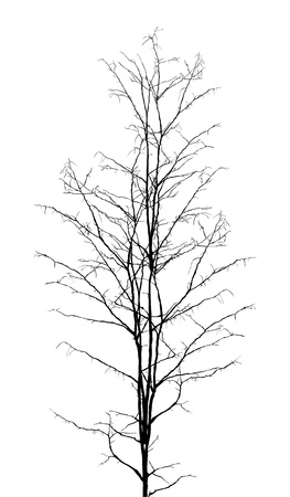Leafless dry tree silhouette on white background