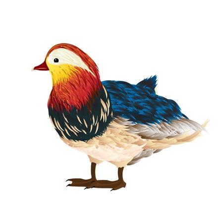 anatidae: Little mandarin duck drawing over white background Illustration