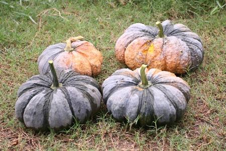 cucurbita: pumpkin in the garden