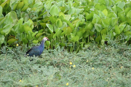 purple swamphen: The purple swamphen in the lagoon Stock Photo