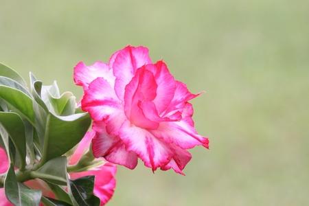 rose of the desert: The Desert Rose bella