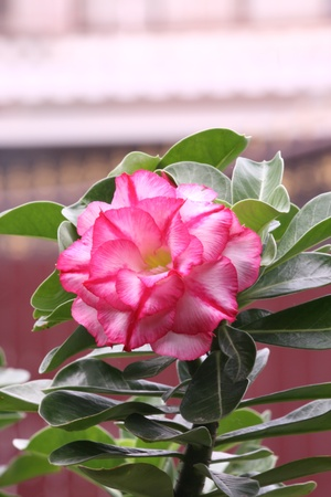 chuan: The beautiful Desert Rose